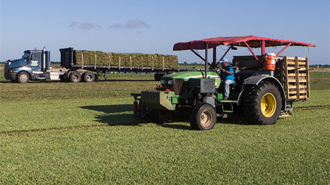 Harvesting sod in Vero Beach, FL
