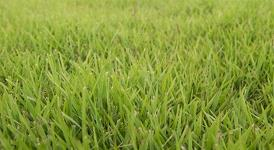 BA-189 Zoysia for Delivery
