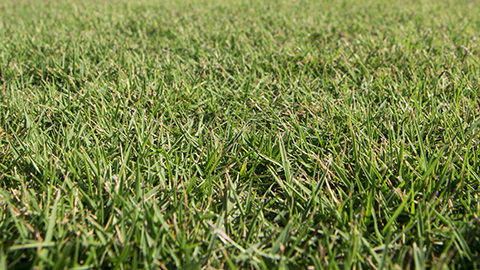 BA-305 Zoysia for Delivery