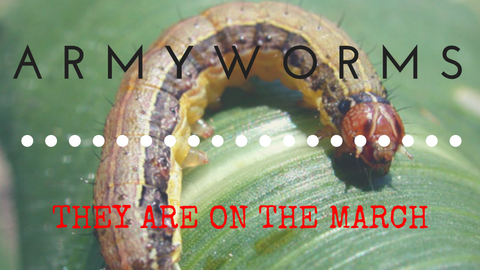Surviving Armyworm Season